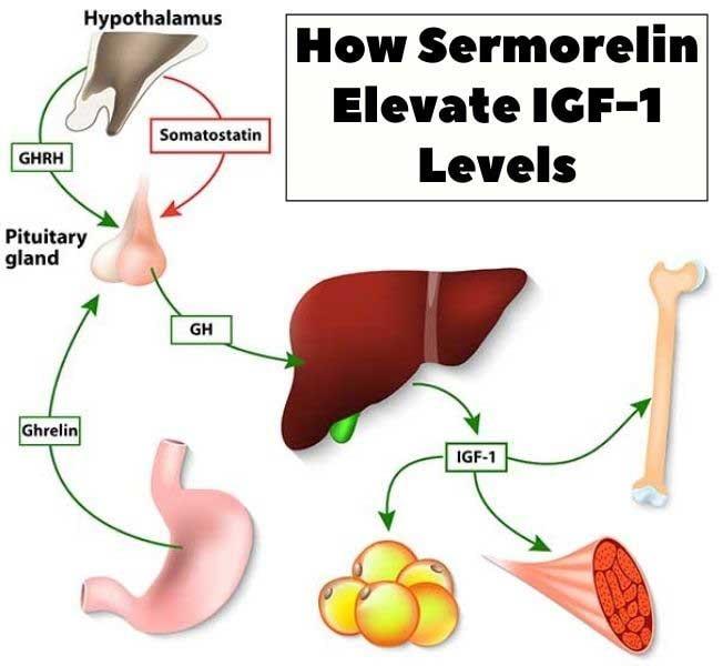 How Sermorelin Elevate IGF-1 Levels
